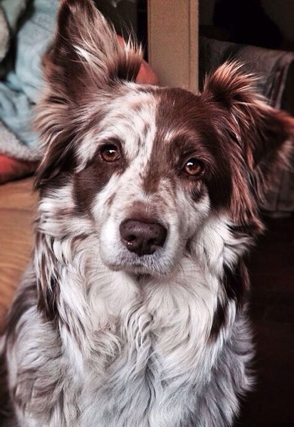 "Those markings! #bordercollie ""> #bordercollie More"