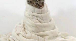 Look at this cute burrito cat . . Credit @yves_the_cat Shop for Cat Lovers…
