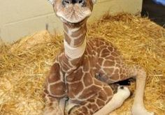 Just A Baby Giraffe
