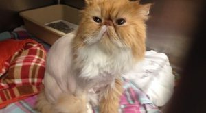 My cat was shaved for surgery and has been staring at me like this…