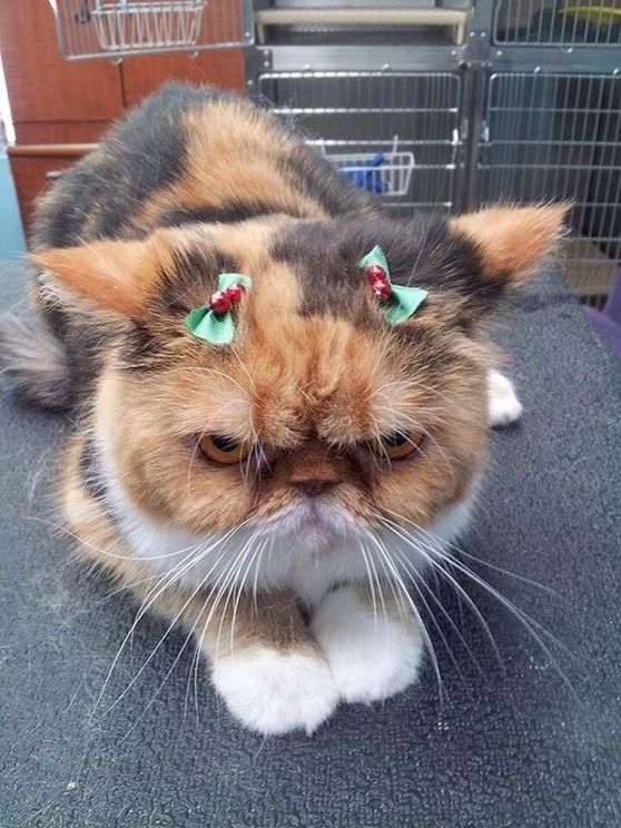 Christmas Funny Pictures of Cats