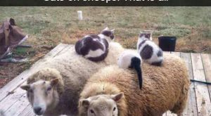 Cats on sheep – funny joke pictures