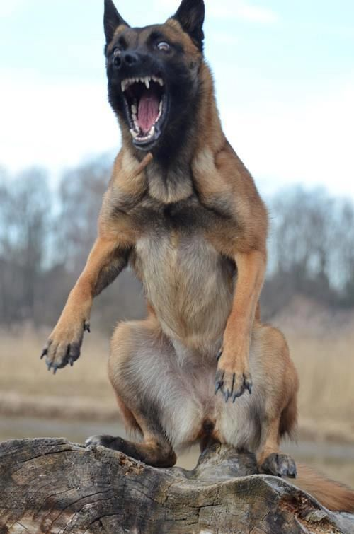 """Belgian Malinois. They're """"crazy""""!!"""