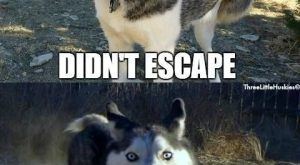 April Fools Siberian Husky Style. (We're thankful for Invisible Fence! No more chasing our…