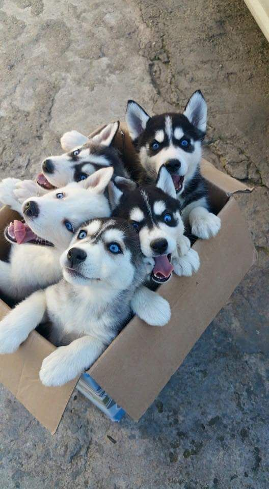 A box full of siberian huskies. What would be a greater gift? More