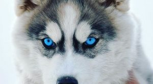 ~ GORGEOUS HUSKY, BEAUTIFUL MARKINGS & EYES, OF COURSE ~