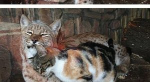 "Cats Are Cats No Matter Their Size #funny #lol "" #lol #lolzonline explore…"
