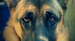 The German Shepherd == visit for cool gifts for GSD lovers