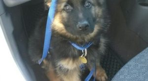 "Baby German Shepherd. #germanshepherdcute "" #germanshepherdcute"