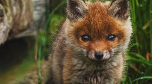 Red fox Kit. Funny Picture, Have Fun: Florian Warnecke. Squeeee! It looks like a little kittydog