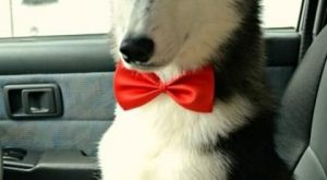 "All dressed nowhere to go! #Husky "" #Husky #dog search Pinterest"" #dog"