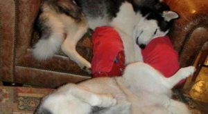 "Snuggie with a #Husky "" #Husky!"