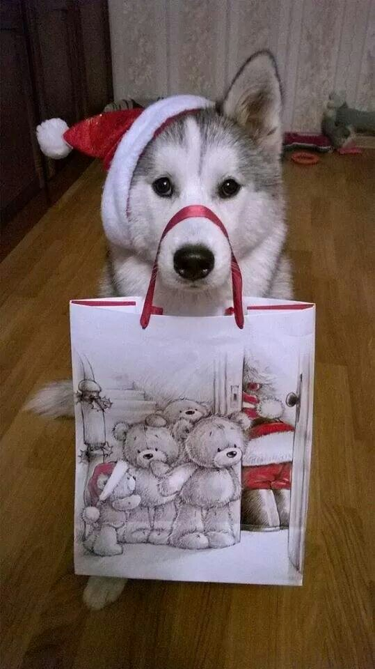 "Merry merry Christmas from #Husky "" #Husky"