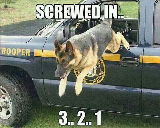 German Shepherd K Police Officer & Hero! May God Protect & Bless you cutie!