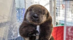 "Sea Otter Pup Rescued Off California Coast #memes #humor ""> #memes #humor"