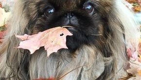 best photos, pictures and images about pekingese dog – oldest dog breeds #bestdogbreeds explore…