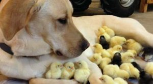 Chick Magnet cute animals dogs adorable dog puppy animal pets humor chicks funny animals…