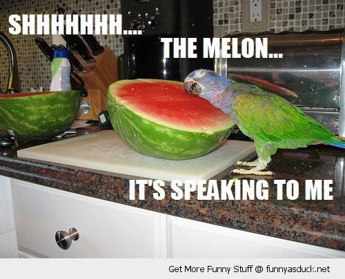 funny parakeet | bird parrot budgie talking water melon funny pics pictures pic picture…