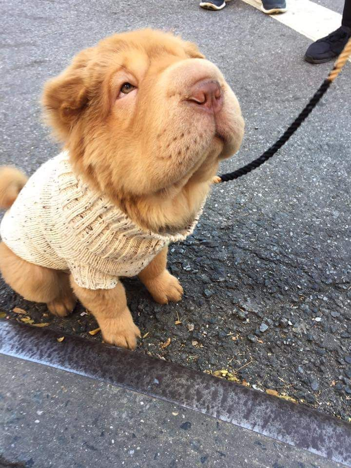best pictures and photos ideas about adorable chinese shar pei puppies – oldest dog…