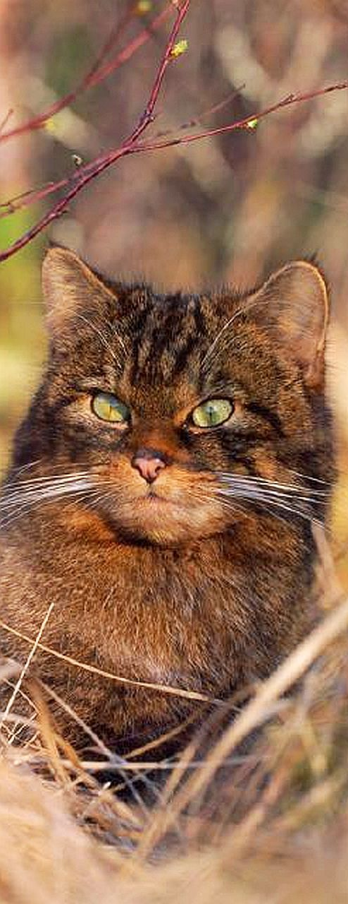"AMAZING SCOTTISH WILDCAT #cat explore Pinterest""> #cat cats wildlife wildness kitty ..."