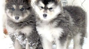 Meet BLUE COAT a cute Wolf Hybrid puppy for sale for $. RARE BLUE…