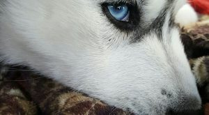 "Siberian Husky Puppy with blue eyes #siberianhusky explore Pinterest""> #siberianh..."