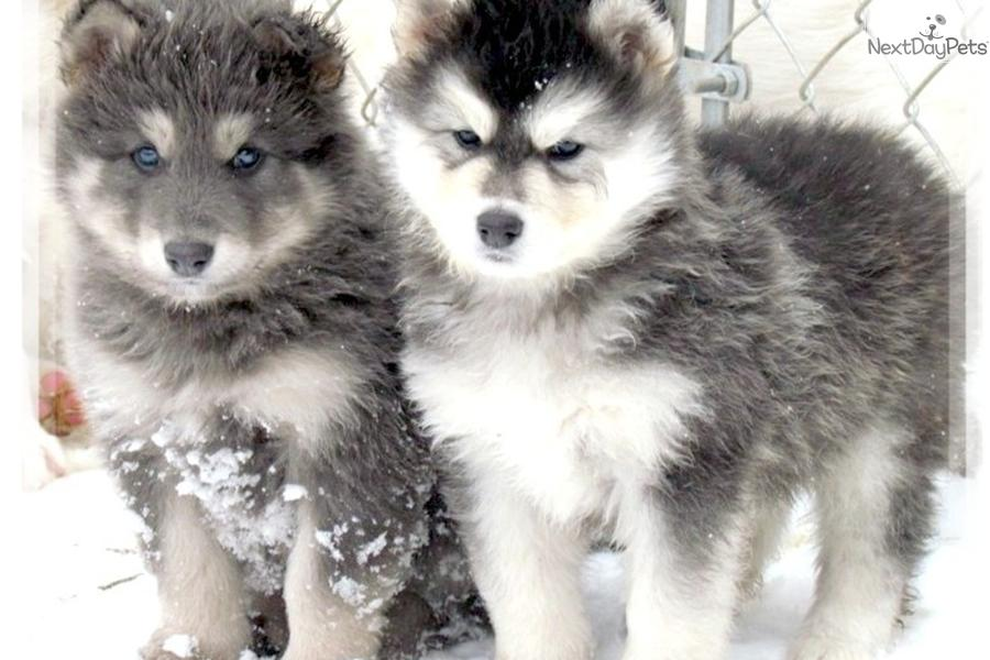 Husky Frases: Meet BLUE COAT A Cute Wolf Hybrid Puppy For Sale For