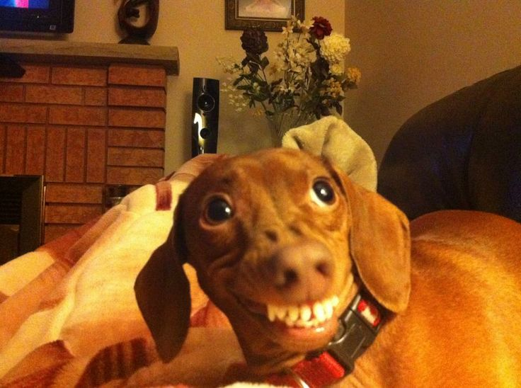 Funny Dachshund Pictures with Captions | Funny Dachshund Pictures with Captions | Caption ...