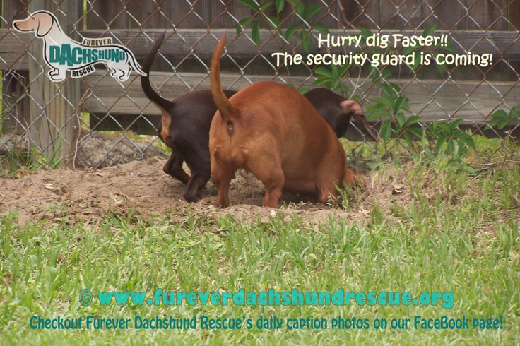 Funny Dachshund Pictures with Captions   April 2011 FaceBook Caption us on FaceBook!