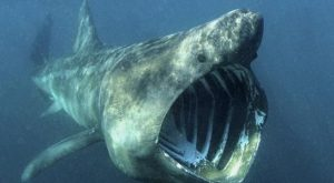 The Basking Shark Is The Second Largest Fish In Our Oceans – Funny Animal…