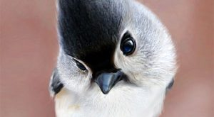 beautiful picture of a tufted titmouse……love those eyes | #CuteAnimalsAndSuchLike expl...