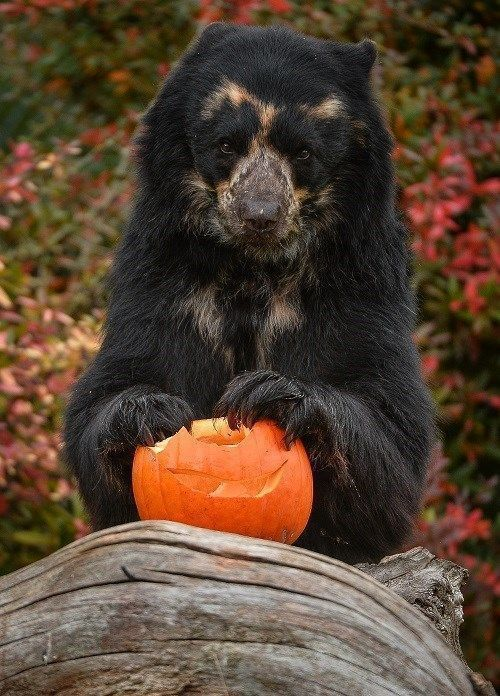These Shots of Zoo Animals Playing With Pumpkins Will Make Your Day – I…