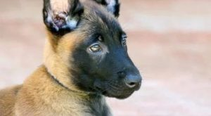 "Malinois #Dog explore Pinterest""> #Dog Breed The Malinois /ˈmælɨnwɑː/ is a m..."