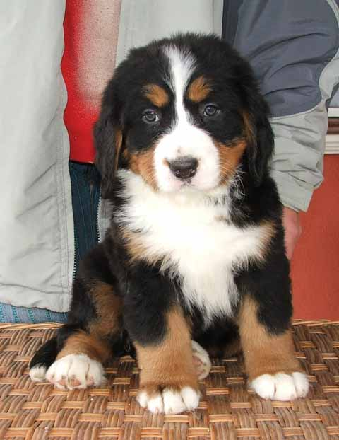 Bermese Mountain Dog. I am in love! I've always wanted one of these dogs,…
