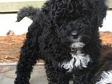 Portuguese Water Dog- our nd pup I want badly!!!! Just gotta talk Kev into…