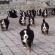 There's really nothing like eighteen Bernese mountain dog puppies running towards you to brighten…