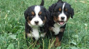 "Cute #BerneseMountain explore Pinterest""> #BerneseMountain #dog explore Pinterest&#8..."