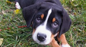 A Greater Swiss Mountain Dog Puppy for you!