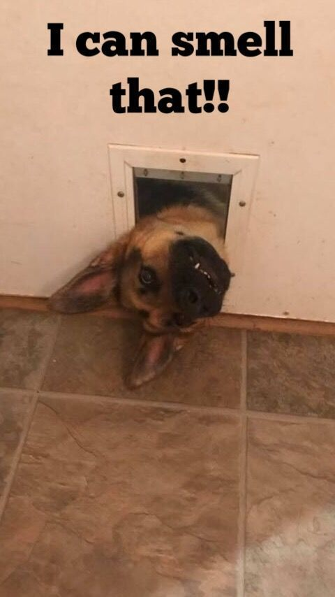 German Shepherds can be hilarious! Everything you want to know about GSDs. Health and…