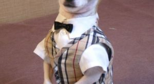 "Dapper chihuahua- Montjiro, a #dog ""> #dog fashion model. He models… #chihuahua explore…"