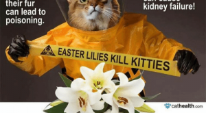 Cats, Easter, and Kitties: Eating less  than one leaf  or flower  can cause  kidney failure!  Groomin  ollen off  heir fur  can lead to  poisoning.  EASTER LILIES KILL KITTIES  cathealth com  Keep Easter Lilies out of Your Home lf You Have Cats!  http:l/www.cathealth.com/toxic-items/easter-lilies-a-holiday-hazard-for-cats