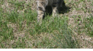 Memes, Help, and House: Please help us find Tyker.  Our small, tabby cat is missing.  We are very concerned because she is blind.  She was last seen in our house on Turnberry Lane in the Turnberry Vista subdivision this morning.  Please call — if you see her.  Thanks! Jennifer Wetteland