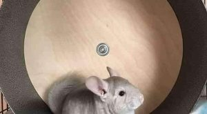"Chin Spin "" Chinchilla Exercise Wheel #funnydogpictures ""> #funnydogpictures"