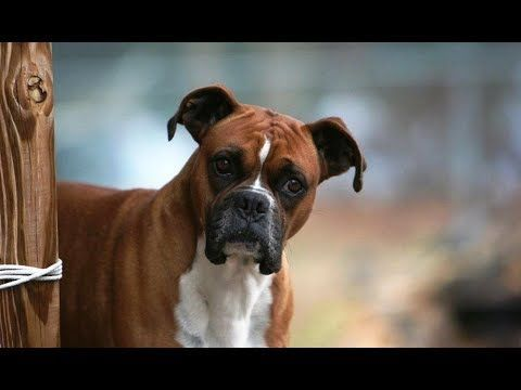 Image of: Laugh Funny Boxer Dog Video Compilation Funny Dogs Videos Youtube memes humor Explore Soumoeu Funny Boxer Dog Video Compilation Funny Dogs Videos Youtube