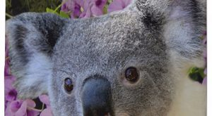 Amazing wildlife australian animals koalas, koala bear. Cute koala and cooktown orchids. w...