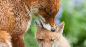 A young wild fox cub is groomed by his older sister (from a previous…