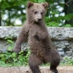 Young wild bear in the forest near Sinaia, Romania