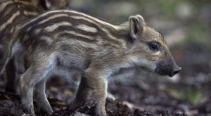Baby boar Young wild boars roam in the Rambouillet Forest in France on July…