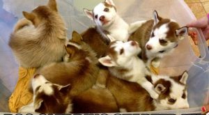 Box full of Husky puppies. Caption: Dog sledding starter kit