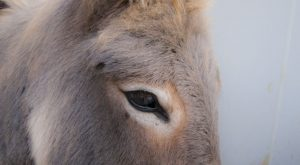 Donkey portrait – by Richard Hamilton